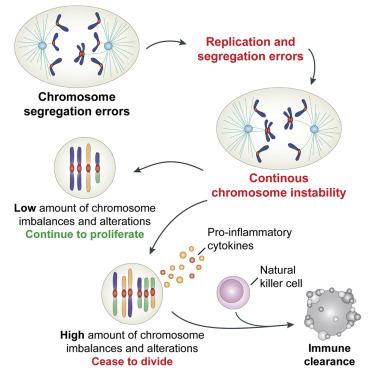 Cell Cycle Diagram Unlabeled.Chromosome Mis Segregation Generates Cell Cycle Arrested