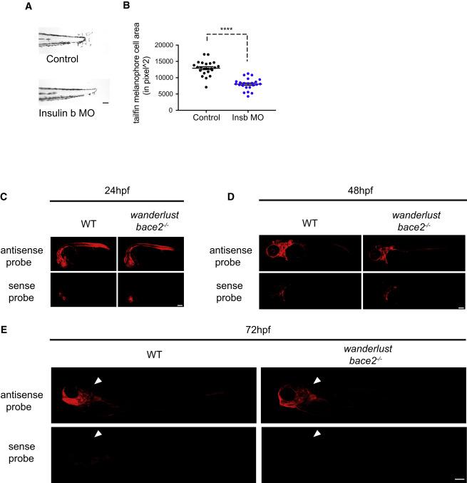 Distant Insulin Signaling Regulates Vertebrate Pigmentation