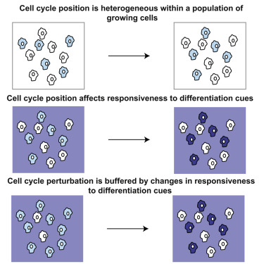 Cell Cycle Heterogeneity Can Generate Robust Cell Type