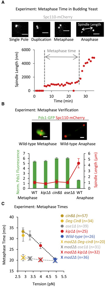 A Gradient in Metaphase Tension Leads to a Scaled Cellular Response