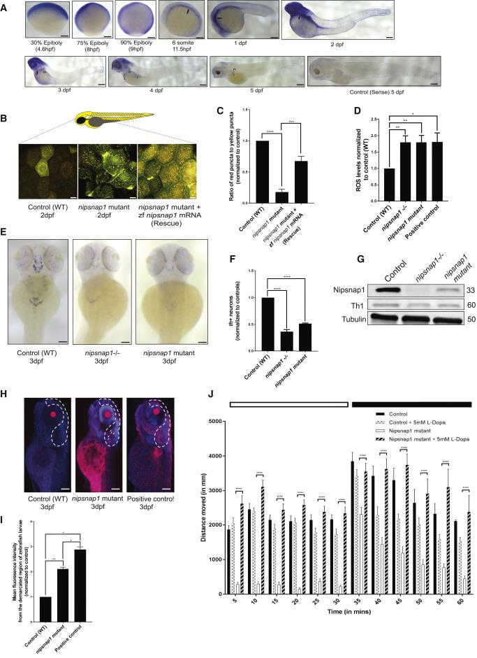 """NIPSNAP1 and NIPSNAP2 Act as """"Eat Me"""" Signals for Mitophagy"""