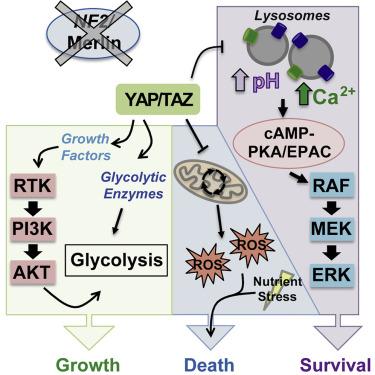 YAP/TAZ Inhibition Induces Metabolic and Signaling Rewiring