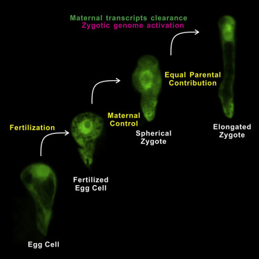 Two-Step Maternal-to-Zygotic Transition with Two-Phase