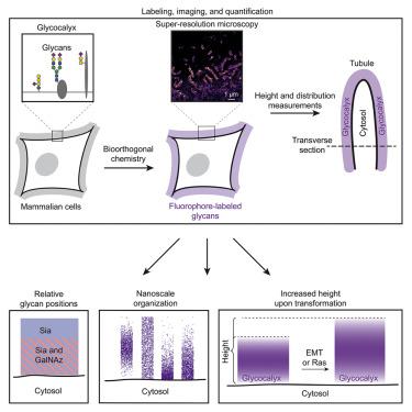 Quantitative Super-Resolution Microscopy of the Mammalian Glycocalyx
