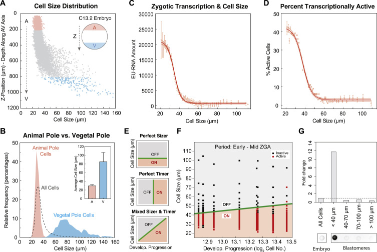 Spatiotemporal Patterning of Zygotic Genome Activation in a