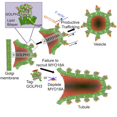 Efficient Golgi Forward Trafficking Requires GOLPH3-Driven