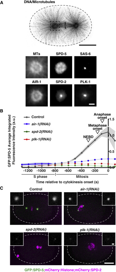 Differential Requirements for Centrioles in Mitotic Centrosome