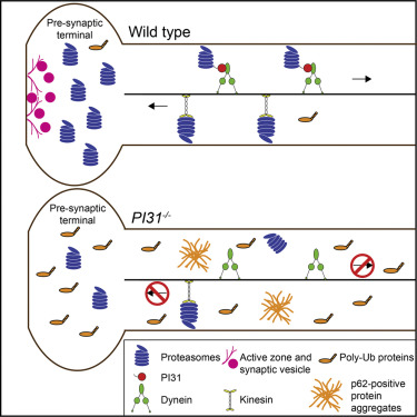PI31 Is An Adaptor Protein For Proteasome Transport In Axons
