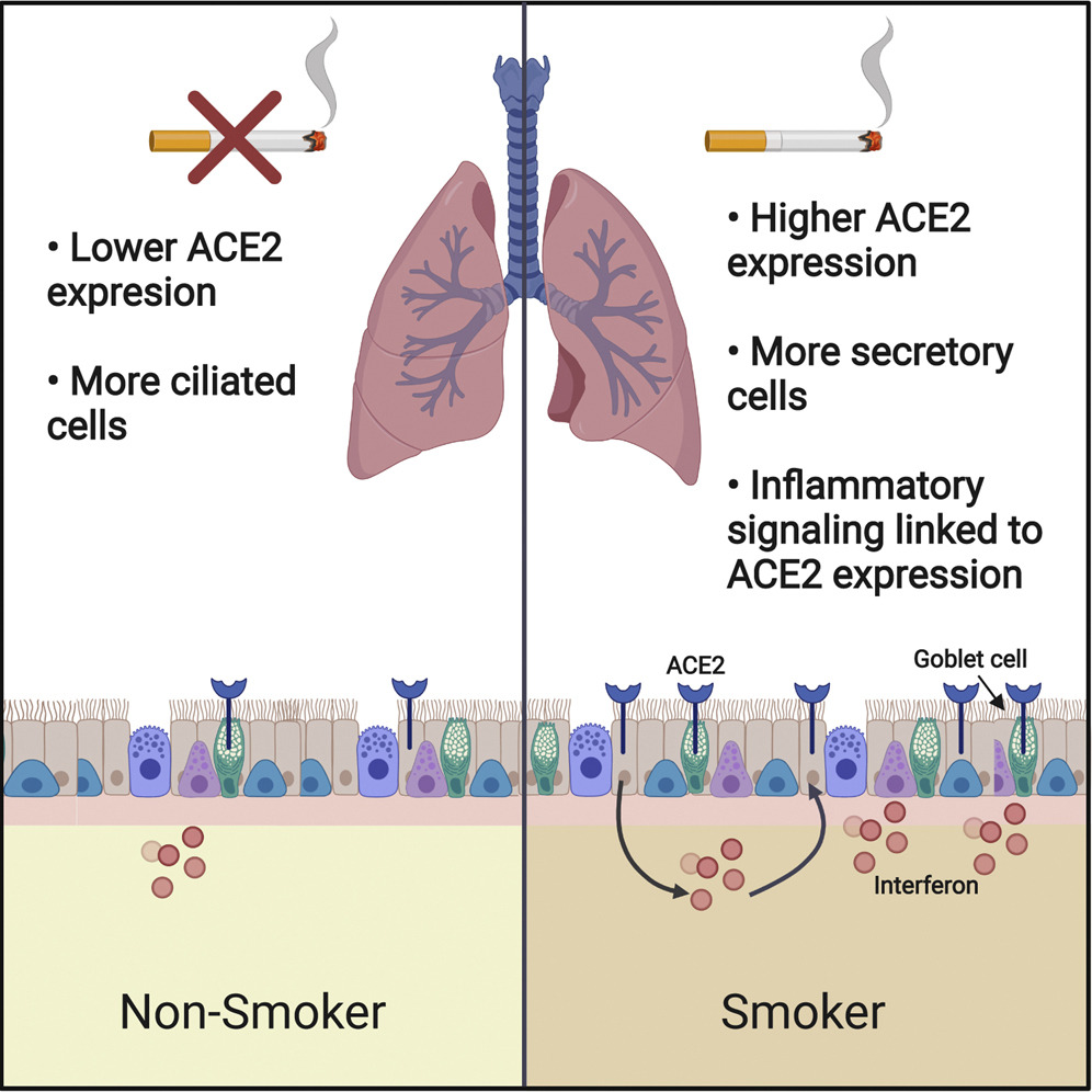 Smokers More Likely to Express ACE2 Protein That SARS-COV-2 Uses to Enter Human Cells
