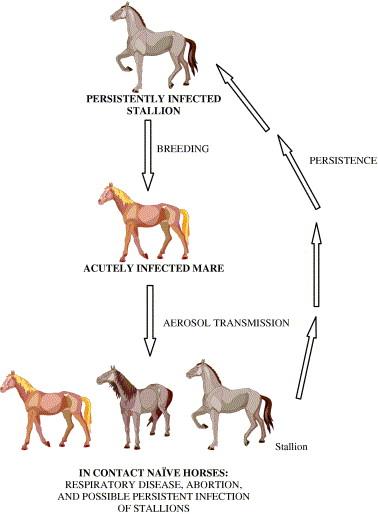 equine viral arteritis family