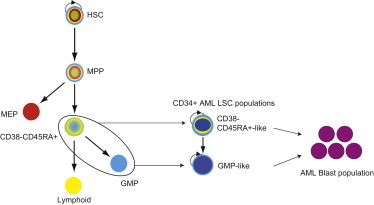 Coexistence Of Lmpp Like And Gmp Like Leukemia Stem Cells In Acute