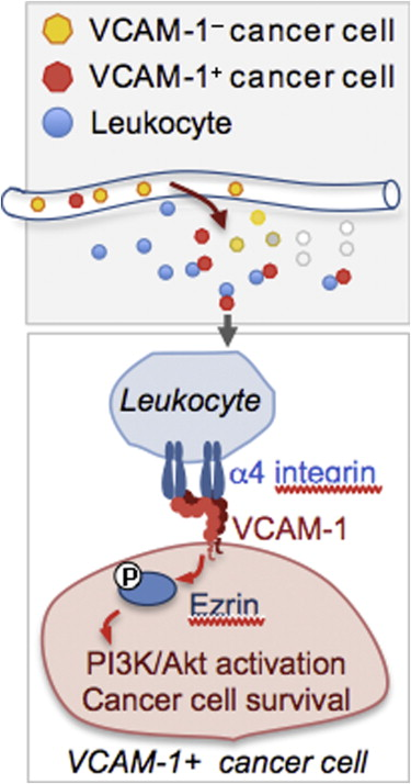 Macrophage Binding To Receptor Vcam 1 Transmits Survival Signals In