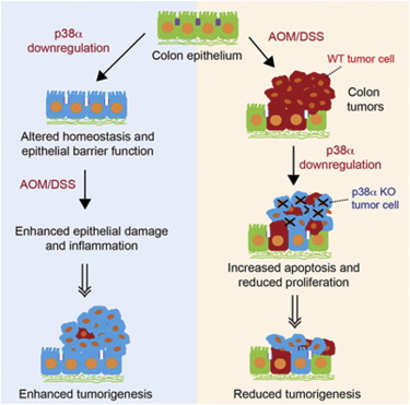 Dual Function Of P38a Mapk In Colon Cancer Suppression Of Colitis Associated Tumor Initiation But Requirement For Cancer Cell Survival Sciencedirect
