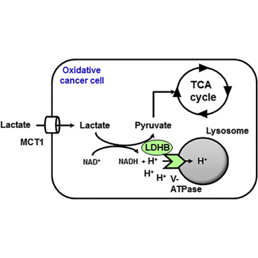 Lactate Dehydrogenase B Controls Lysosome Activity And Autophagy In Cancer Sciencedirect
