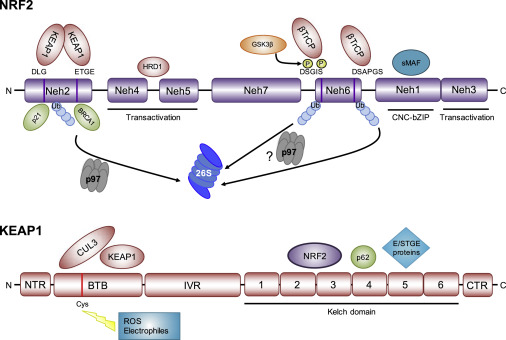 NRF2 and the Hallmarks of Cancer - ScienceDirect