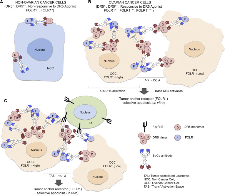 A Single-Agent Dual-Specificity Targeting of FOLR1 and DR5