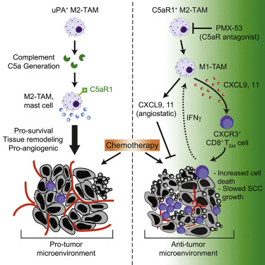 Complement C5a Fosters Squamous Carcinogenesis and Limits T Cell
