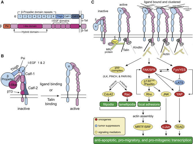 Integrin Signaling in Cancer: Mechanotransduction, Stemness