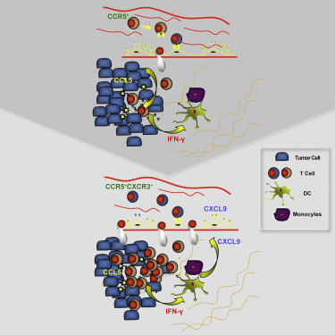 Cooperation between Constitutive and Inducible Chemokines
