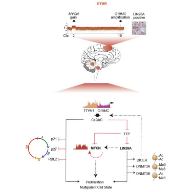 A C19MC-LIN28A-MYCN Oncogenic Circuit Driven by Hijacked ... on