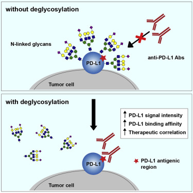 Removal Of N Linked Glycosylation Enhances Pd L1 Detection And Predicts Anti Pd 1 Pd L1 Therapeutic Efficacy Sciencedirect