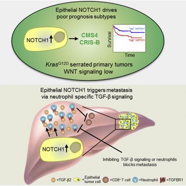 Epithelial Notch Signaling Rewires The Tumor Microenvironment Of Colorectal Cancer To Drive Poor Prognosis Subtypes And Metastasis Sciencedirect