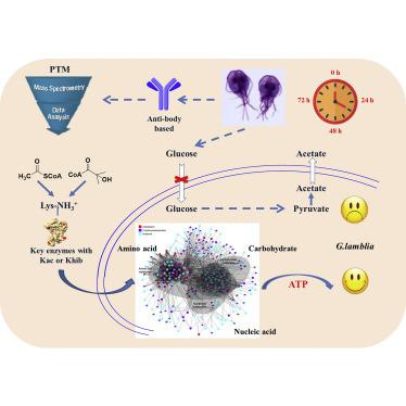 Giardiasis перевод. ZooP-M1-3-Teniasis féreg gyógyszerek ember számára