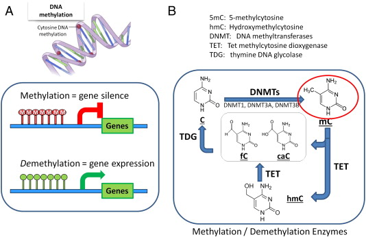 Emerging topic flow related epigenetic regulation of endothelial central role of dna methyltransferases dnmts malvernweather Gallery