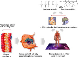 The autonomic nervous system and cardiovascular disease: role of n-3