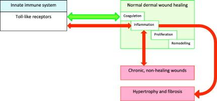 The innate immune system, toll-like receptors and dermal