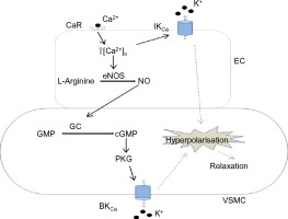 Stimulation of calcium-sensing receptors induces endothelium