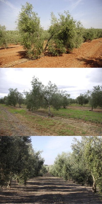 Suitability of Spanish 'Manzanilla' table olive orchards for