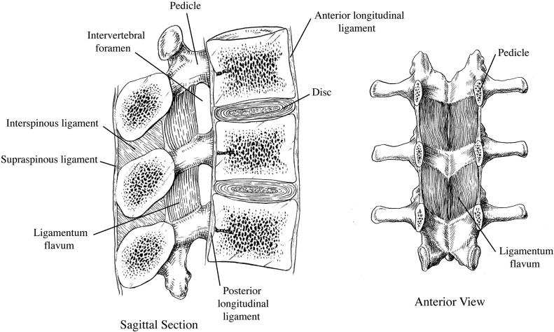 Functional anatomy of the lumbar spine - ScienceDirect