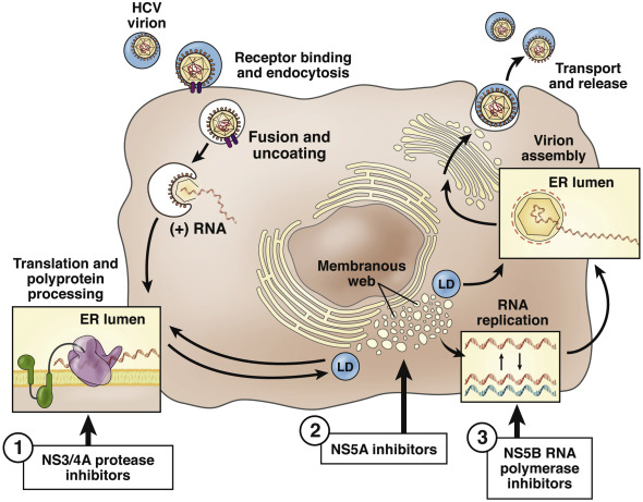 Direct-Acting Antiviral Agents and the Path to Interferon