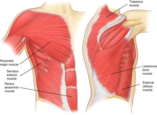 Muscles Of The Chest Wall Sciencedirect