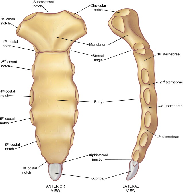 The Anatomy Of The Ribs And The Sternum And Their Relationship To