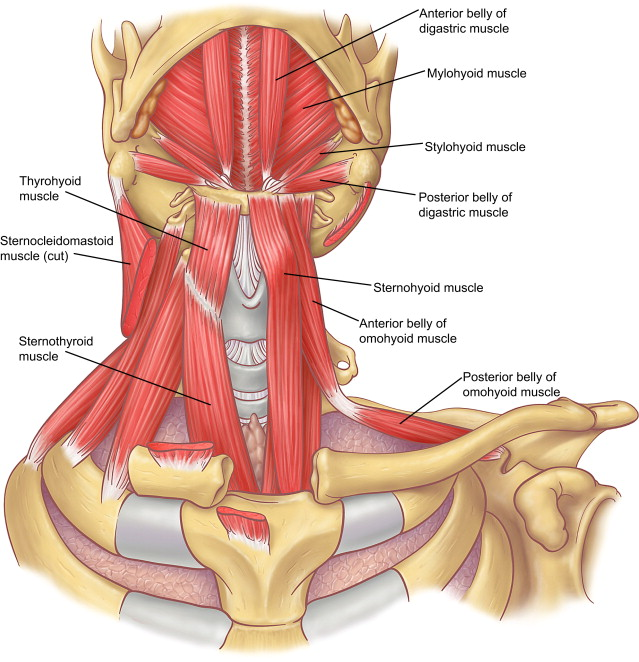 Anatomy of the Neck and Cervicothoracic Junction - ScienceDirect