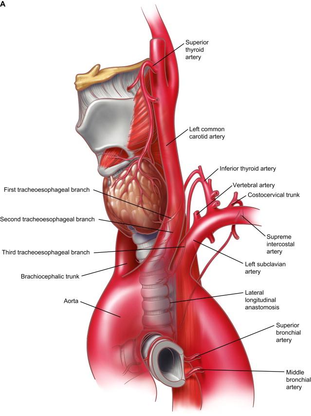 Anatomy Of The Trachea Carina And Bronchi Sciencedirect