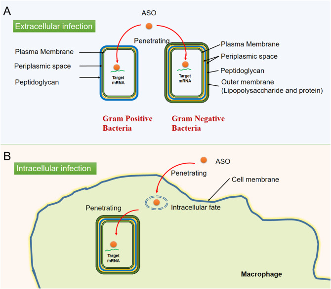 Bacterial Cell Wall Concept Map.Advances In The Delivery Of Antisense Oligonucleotides For Combating