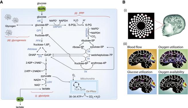 Depleted Atp Levels Causes Neural >> Brain Energy Metabolism Focus On Astrocyte Neuron Metabolic