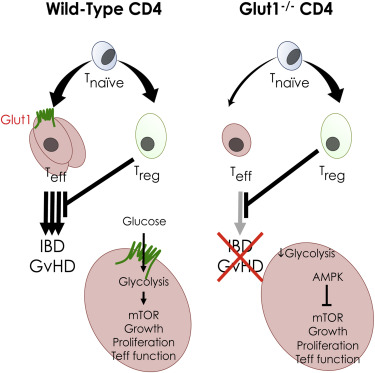 The Glucose Transporter Glut1 Is Selectively Essential for