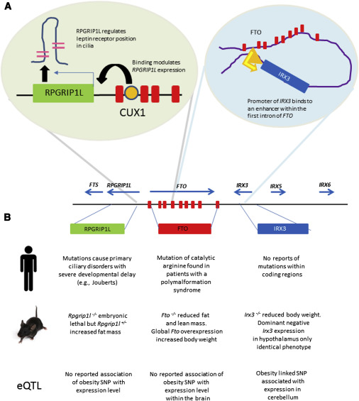 Obesity And Fto Changing Focus At A Complex Locus Sciencedirect