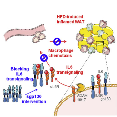 high fat diet and macrophages