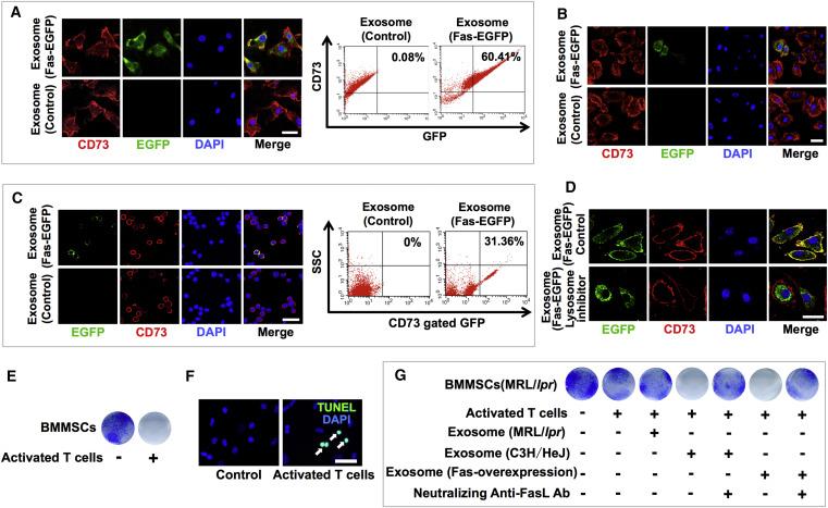 MSC Transplantation Improves Osteopenia via Epigenetic