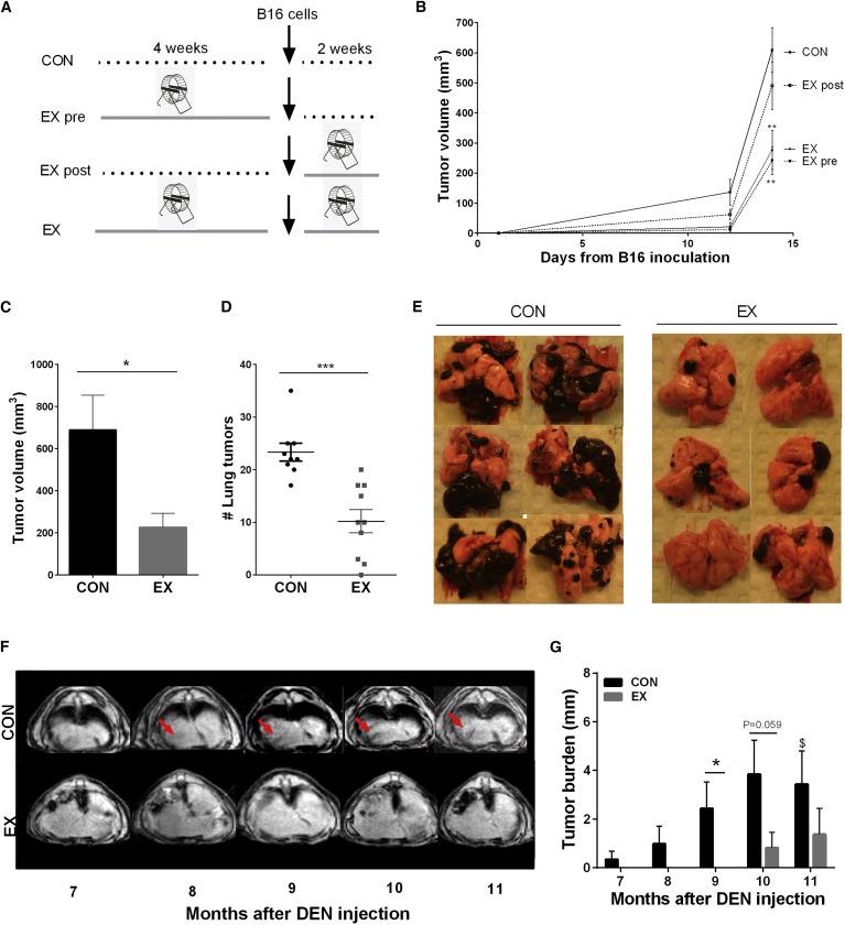 Rularea pe roți reduce incidența și creșterea tumorilor (A) Designul experimental (B) ...
