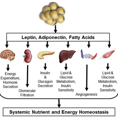 Adiponectin Leptin And Fatty Acids In The Maintenance Of Metabolic