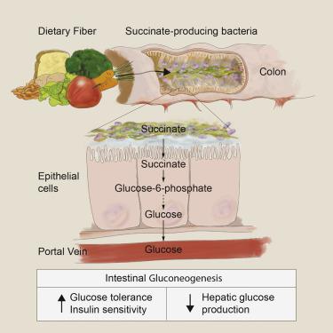 protein rich diet gut gluconeogenesis