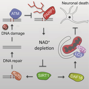 NAD+ Replenishment Improves Lifespan and Healthspan in Ataxia