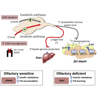 The Sense of Smell Impacts Metabolic Health and Obesity
