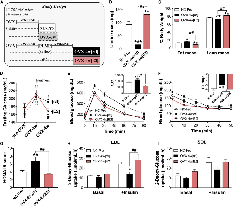17 estradiol directly lowers mitochondrial membrane e2 therapy reverses the ovx induced pro diabetogenic statea study design sciox Choice Image